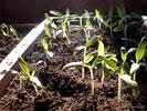 Выращивание рассады помидор...