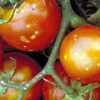 бактериальный рак помидоров