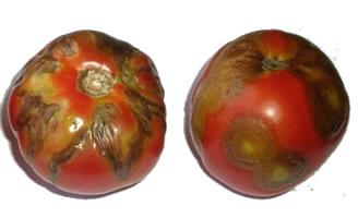 томаты - мозаика