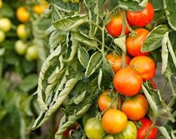 скрученные листья томатов