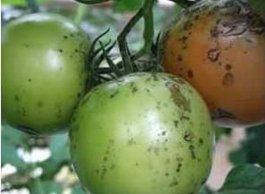 бурая пятнистость томатов