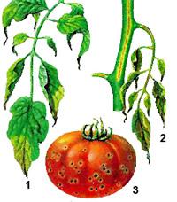 бактериальный рак томатов