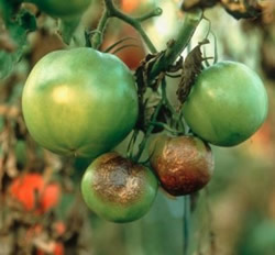 фтьофьороз томата