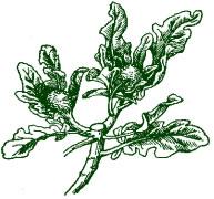 броколли рассада